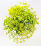 Bouquet of fresh blooming dill on white background Stock Photos