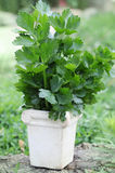Bouquet of fresh Celery Royalty Free Stock Photos