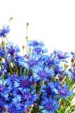 Bouquet of fresh cornflowers Stock Image