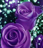 Bouquet of fresh ultra violet roses with small white flowers
