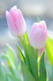 Bouquet of the fresh pink tulips in sunshine Stock Photo