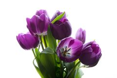 Bouquet of fresh purple tulips. Purple tulips on the white background.  Stock Photography