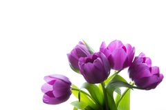 Bouquet of fresh purple tulips. Purple tulips on the white background.  Stock Image