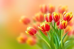 Bouquet of fresh red and yellow tulips  over blurr Royalty Free Stock Photo