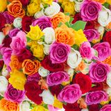 Bouquet of fresh roses Royalty Free Stock Photo