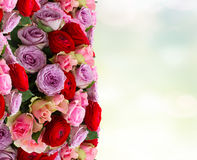 Bouquet of fresh roses and ranunculus. Bunch of fresh roses and ranunculus border on blue background with copy space Stock Image