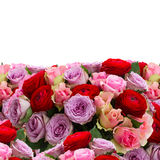 Bouquet of fresh roses and ranunculus. Bunch of fresh roses and ranunculus border isolated on white background Royalty Free Stock Photo