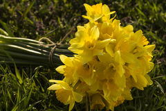 Bouquet of fresh spring narcissus flowers Stock Image