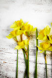 Bouquet of fresh spring narcissus flowers on white wooden backg Stock Photos