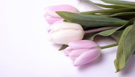 Bouquet of fresh spring white and pink tulip flowers Royalty Free Stock Photo
