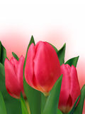 Bouquet of the fresh tulips. Royalty Free Stock Image