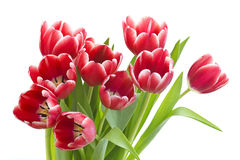Bouquet of fresh tulips Stock Photography