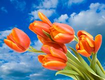Bouquet of the fresh tulips Royalty Free Stock Photo