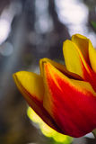 Bouquet of fresh tulips close-up macro shot Royalty Free Stock Image