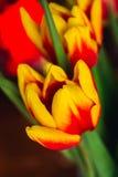 Bouquet of fresh tulips close-up macro shot Royalty Free Stock Photos