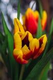 Bouquet of fresh tulips close-up macro shot Stock Photo