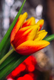 Bouquet of fresh tulips close-up macro shot Royalty Free Stock Photography