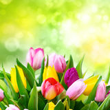Bouquet of fresh tulips Royalty Free Stock Image