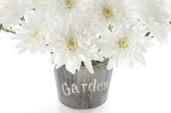 Bouquet of fresh white chrysanthemum in a wooden pot Stock Image