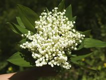 Bouquet of fresh white forest lily of the valley in hand close-up stock photo