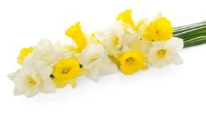 Bouquet of the fresh white and yellow narcissuses Stock Photos