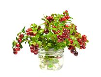 Bouquet of freshly cut branches of cowberry bush, sprinkled with red and burgundy ripe juicy berries, in a transparent glass conta Stock Image