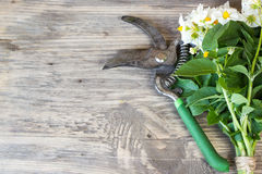 Bouquet of Garden Potato flowers. And pruner on Rustic Wooden background with copy space Royalty Free Stock Photos