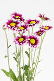 Bouquet on gazania. Blooming bouquet of gazania with dark red and white pedals, with green stems on white background Royalty Free Stock Photo