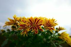 Bouquet of Gazania splendens Stock Photography