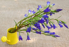 Bouquet gentian. Bouquet of blue gentian in a yellow decorative watering can against a canvas Stock Photos