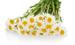 Bouquet of the gentle white camomile Stock Image