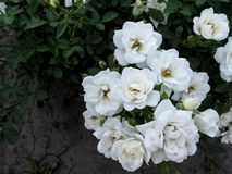 Bouquet of gently white elegant rose inflorescence `Guirlande d`Amour` variety stock images