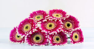 Bouquet of Gerber. Royalty Free Stock Photo