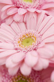 Bouquet of gerbera Stock Photos