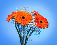 Bouquet of gerbera on blue. Stock Photography
