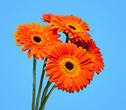 Bouquet of gerbera on blue. Royalty Free Stock Images