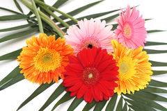 Bouquet gerbera daisies Royalty Free Stock Photos