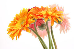 Bouquet gerbera daisies Royalty Free Stock Photo