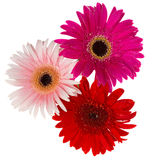 Bouquet of gerbera flowers Stock Images