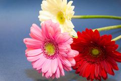 A bouquet of gerbera flowers on a blue background. Colorful. Celebration. March 8. stock image