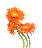 Bouquet gerberas stock image