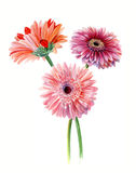 Bouquet gerberas. Watercolor sketch. Isolated on white background Royalty Free Stock Image