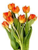 Bouquet of ginger tulips isolated. On white background Royalty Free Stock Photos