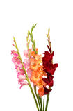 Bouquet of gladiolus Stock Image