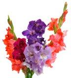 Bouquet of gladioluses. Isolated on white background Royalty Free Stock Photo