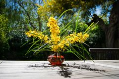 Bouquet of golden wattle in red glass vase on the wooden table, branches of mimosa Royalty Free Stock Photo