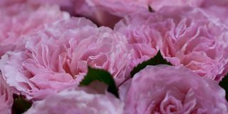 Bouquet of gorgeous pink roses. Large lush bouquet of delicate fluffy pink roses royalty free stock image