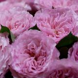 Bouquet of gorgeous pink roses. Large lush bouquet of delicate fluffy pink roses stock photo