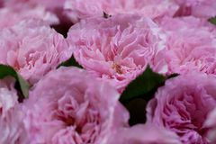 Bouquet of gorgeous pink roses. Lush growing little flowers decorate the lawn in a summer park or garden royalty free stock photos