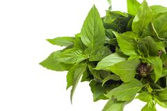 Bouquet of basil leaf Royalty Free Stock Images